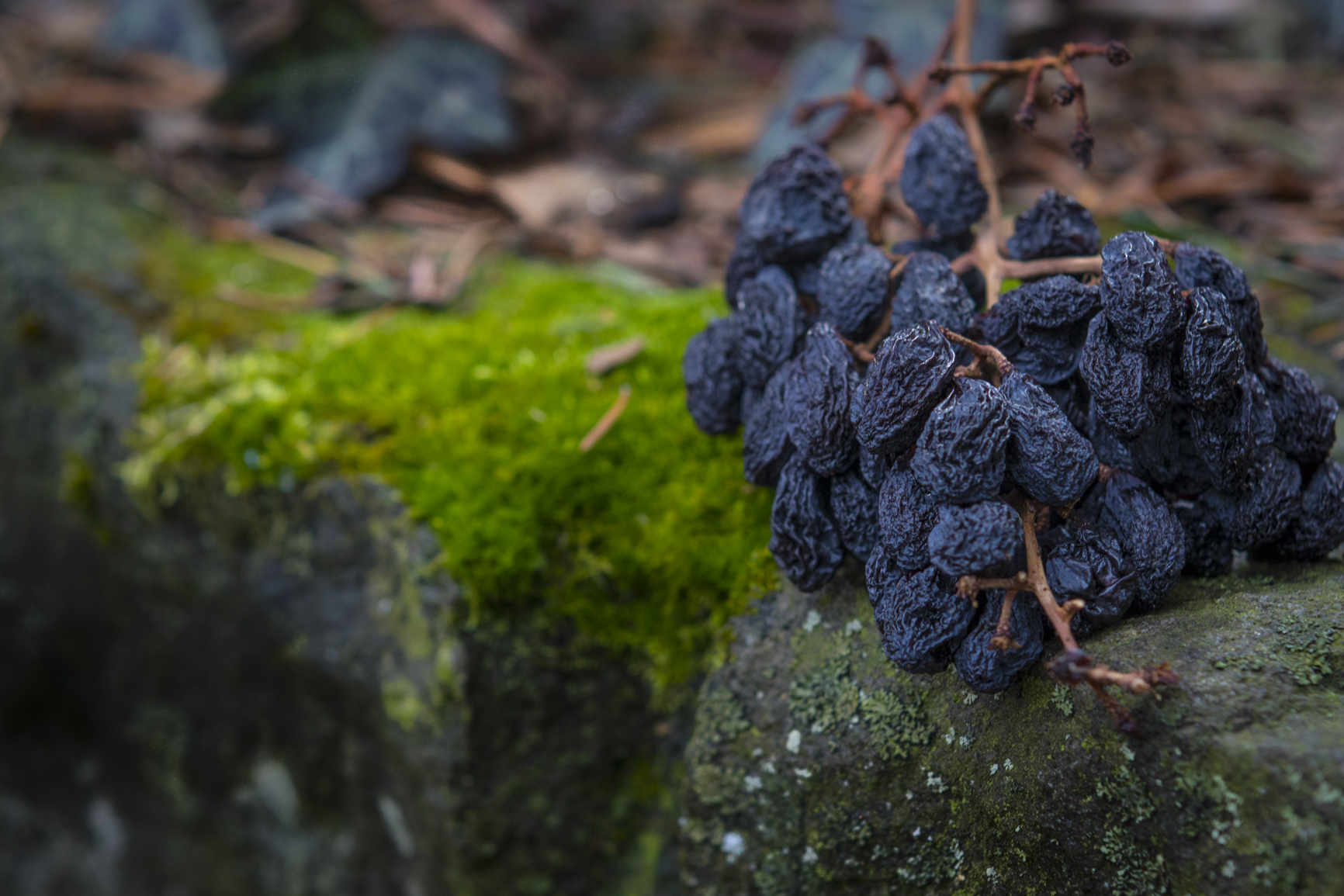 Dried bunch of raisins and moss granite rock